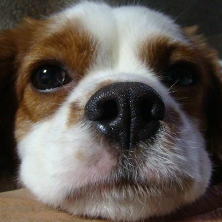 看板犬 キャバリアCocoちゃん 20101229-1