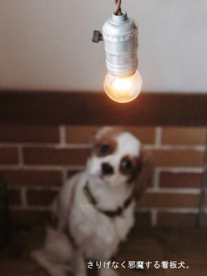 看板犬、キャバリアのココちゃん。撮影にも参加します。