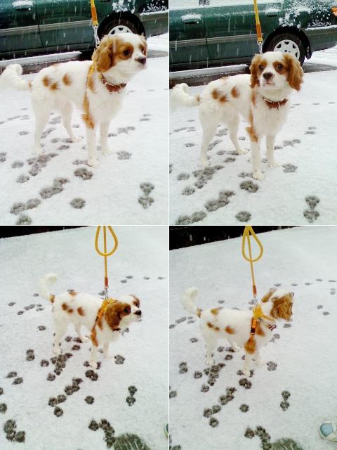 凍える看板犬。キャバリアのココちゃん。