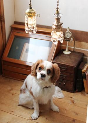 商品よりも目立ちたい、看板犬。キャバリアのココちゃん。