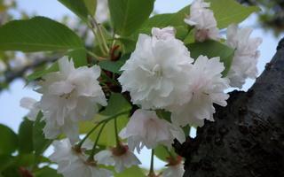 20110429桜1