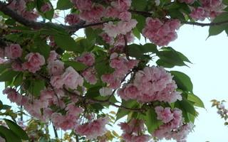 20110429桜3