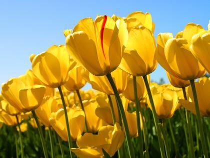 Tulips_convert_20110412172358.jpg