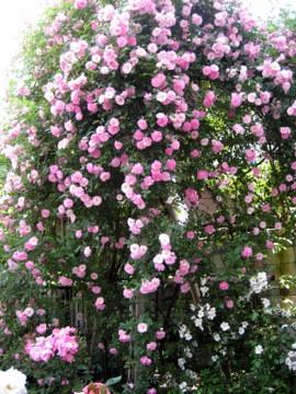 春がすみ ラビアンローズ京都