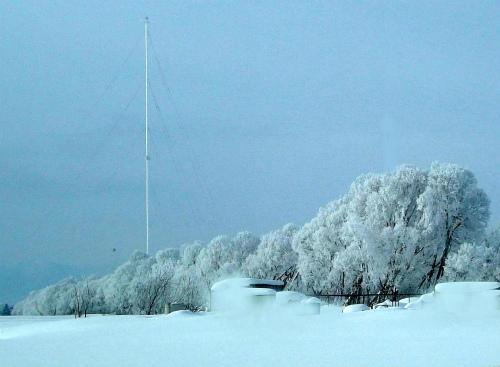 白い桜並木?
