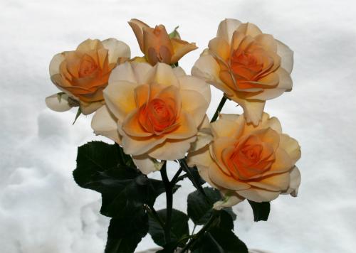 豆福が買ってきたバラ