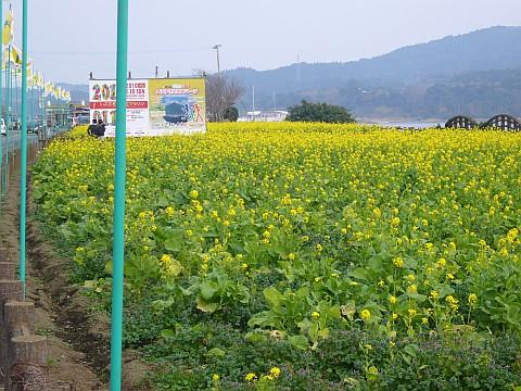 沿道の菜の花畑
