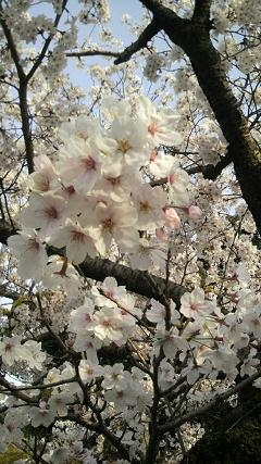 桜☆キレイ!