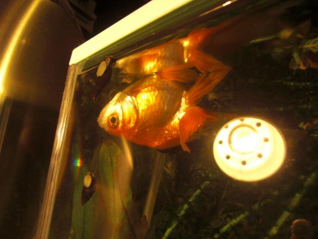 金魚2011.1.28 001