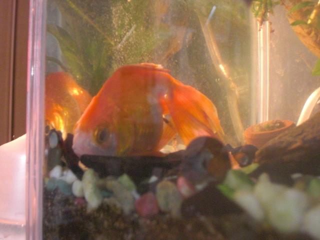 金魚2011.1.28 002