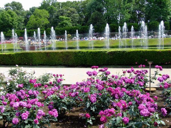 神代植物公園・バラ園4〔フリー写真〕