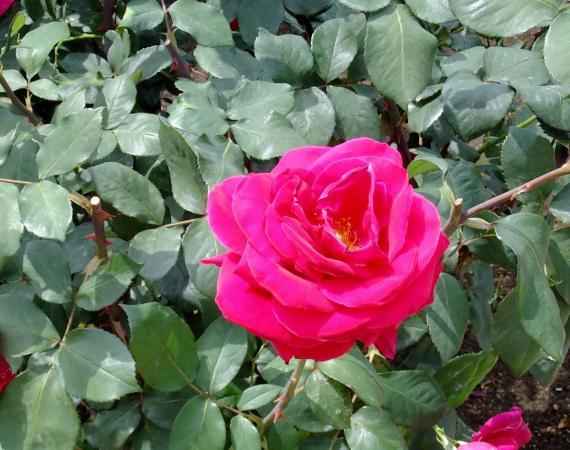 神代植物公園・バラ園5〔フリー写真〕