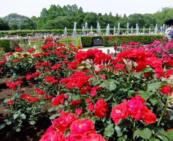 神代植物公園・バラ園7〔フリー写真〕