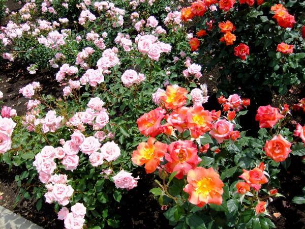 神代植物公園・バラ園10〔フリー写真〕