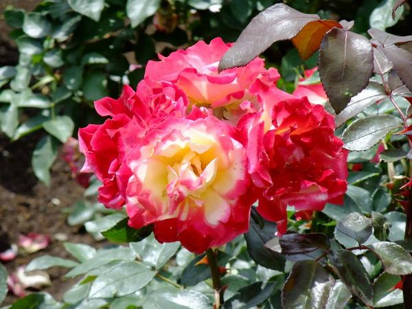 神代植物公園・バラ園12〔フリー写真〕