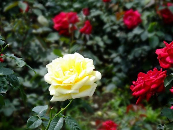 神代植物公園・バラ園14〔フリー写真〕