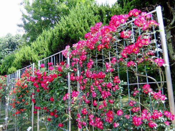神代植物公園・バラ園16〔フリー写真〕