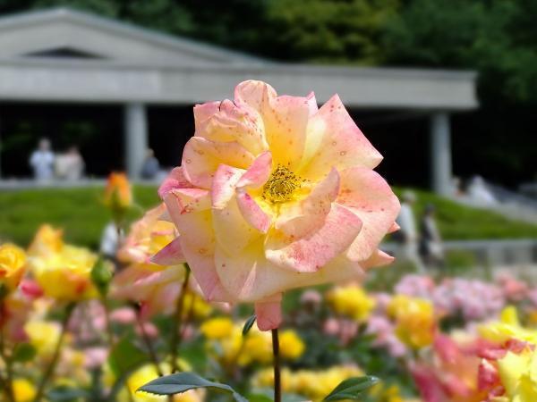 神代植物公園・バラ園19〔フリー写真〕