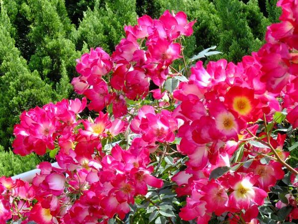神代植物公園・バラ園24〔フリー写真〕