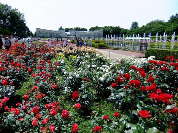 神代植物公園・バラ園25〔フリー写真〕