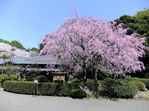 新宿御苑40〔フリー写真〕
