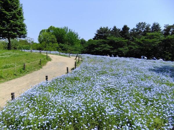 昭和記念公園・ネモフィラ1〔フリー写真〕