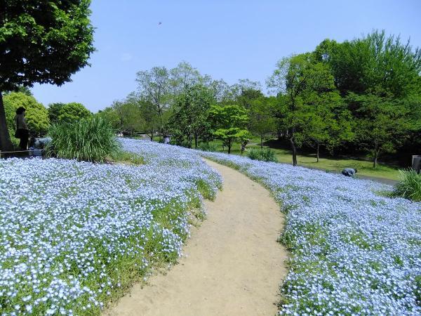 昭和記念公園・ネモフィラ2〔フリー写真〕