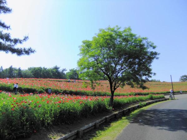 昭和記念公園・ポピー4〔フリー写真〕