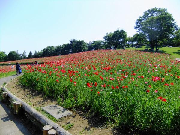 昭和記念公園・ポピー5〔フリー写真〕