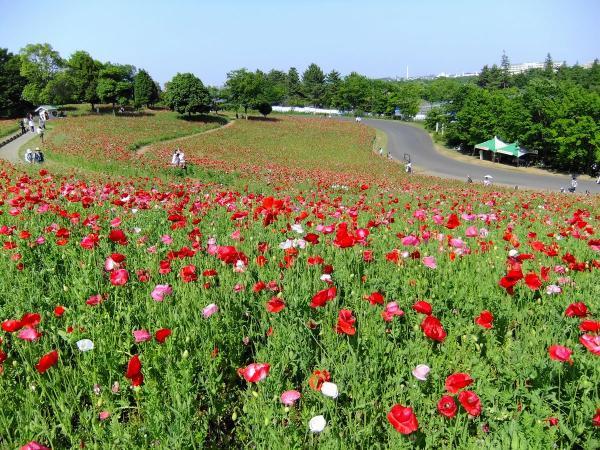 昭和記念公園・ポピー6〔フリー写真〕