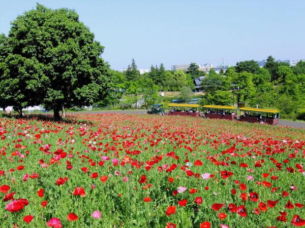 昭和記念公園・ポピー8〔フリー写真〕