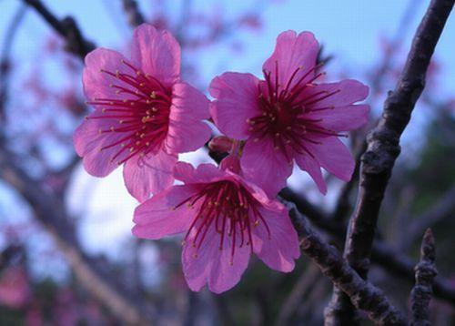 DSCNo沖縄桜