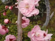 桜の花と雪の粒