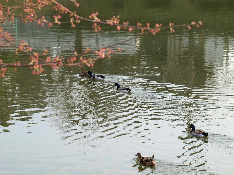 西条市小松町 小松中央公園 お花見スポット