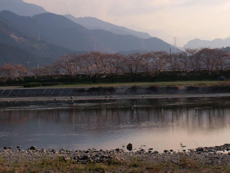 西条市 武丈公園対岸の桜並木の風景