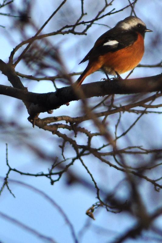 西条市の野鳥 ジョウビタキ