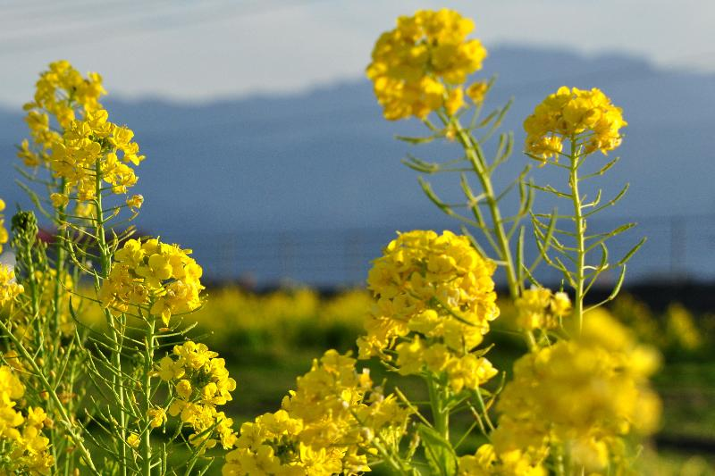 西条市 畑の菜の花