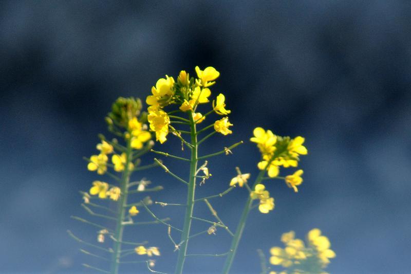 西条市 菜の花