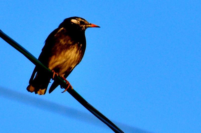 西条市の野鳥 小鳥