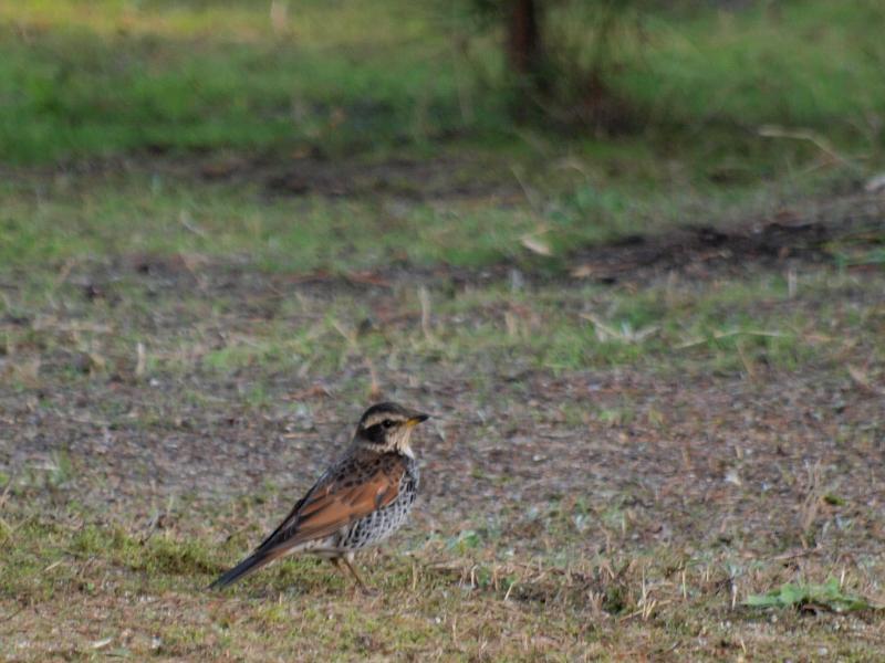 志島ヶ原の野鳥 小鳥