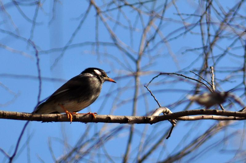 西条市の野鳥 ムクドリ