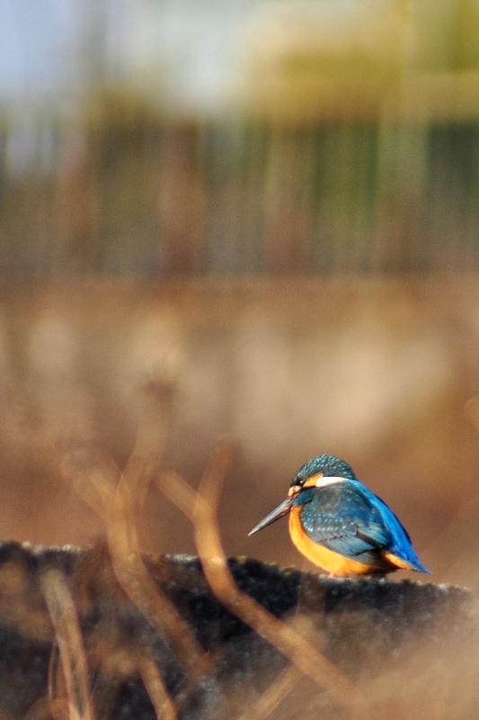 西条市の野鳥 カワセミ