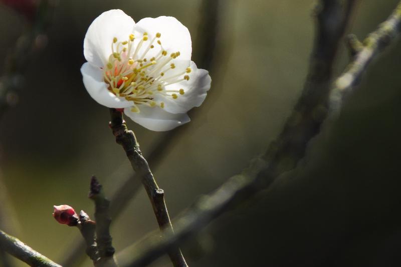 西条市 大谷池付近 梅の花