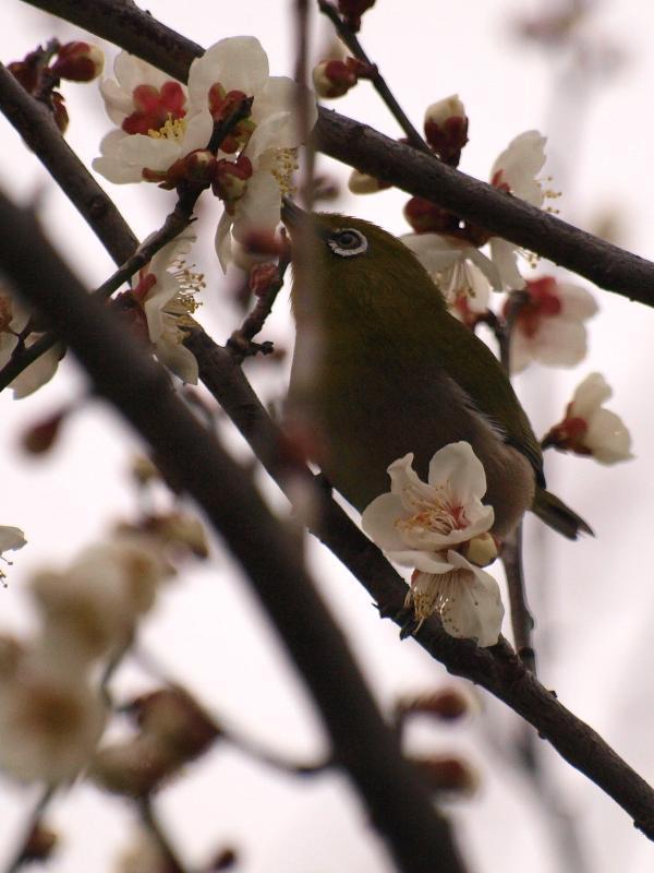 西条市の野鳥 メジロ