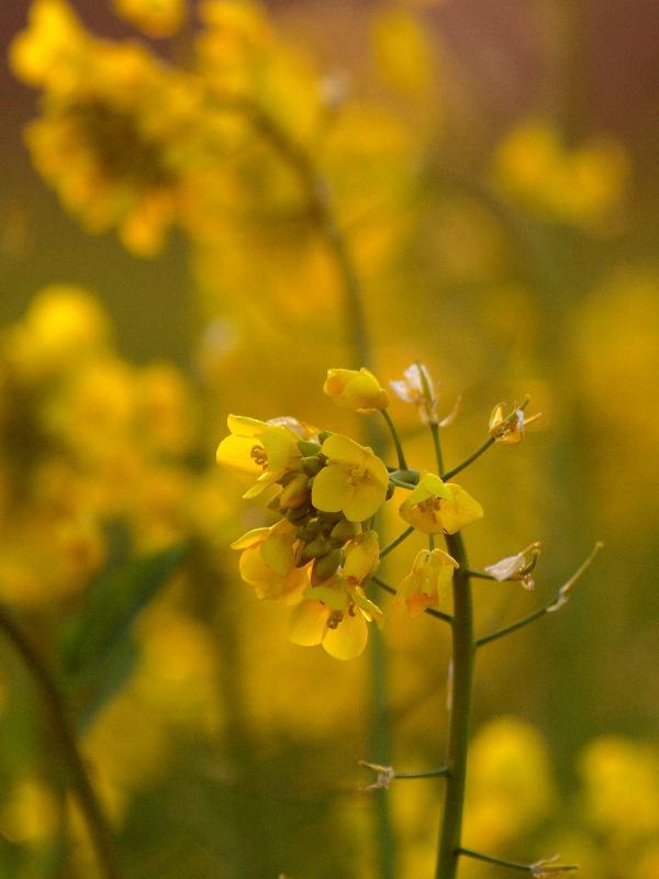 西条市石田 菜の花
