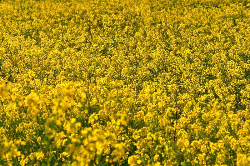 西条市周布 菜の花
