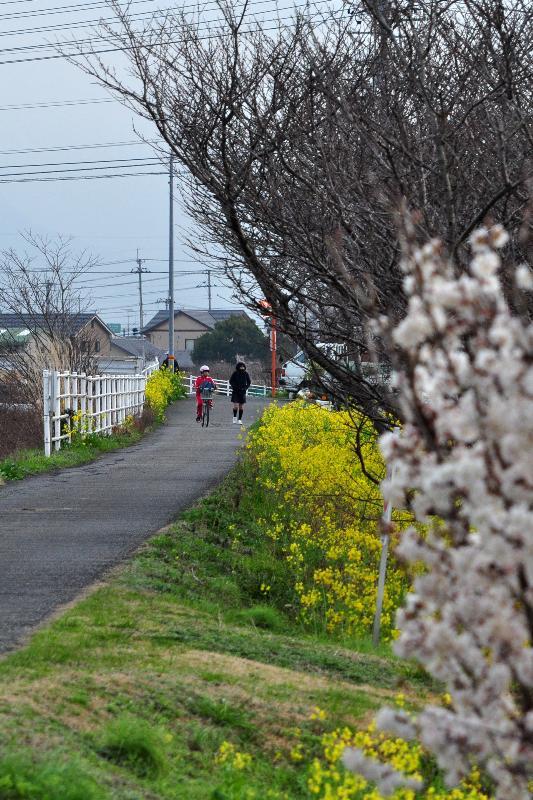 西条市 新川沿い 菜の花