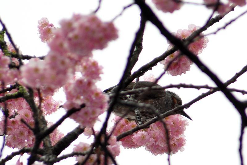 西条市 宮田鉄工 寒桜とヒヨドリ