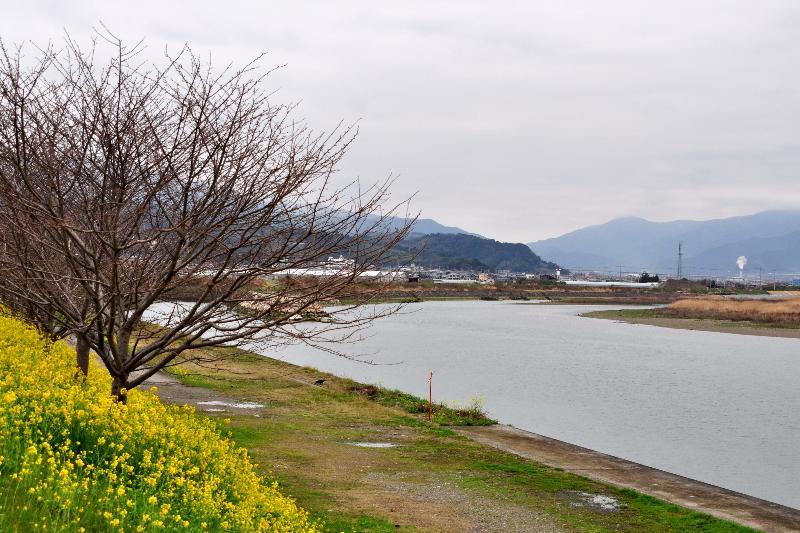 西条市 中山川沿い 菜の花