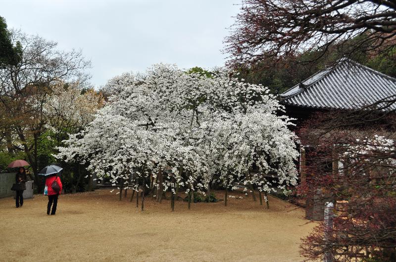 大宝寺のうば桜